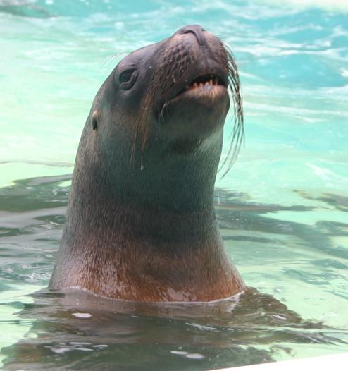 A sea lion of the popular